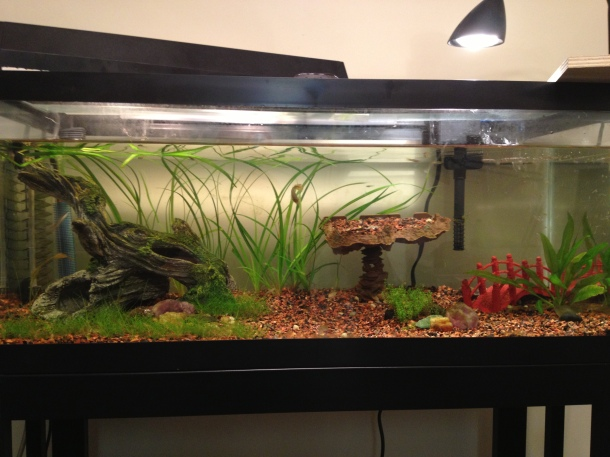 Planted 20 gal long, DIY CO2, many baby guppies, 2 German Blue Rams, 2 Oto catfish. I'm saving up for better lighting!