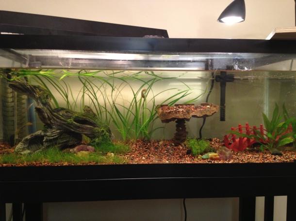 Planted 20 gal long, DIY CO2, many baby guppies, 2 German Blue Rams, 2 Oto catfish. I'm saving up for better lighting!